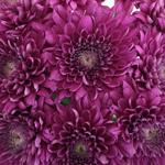 Lavender Eleonora Cremon Mum