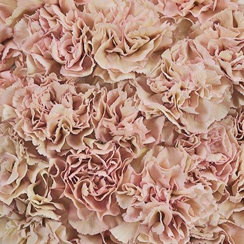 Dusty Pink Carnation Flowers