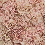 Creola Dusty Rose Wholesale Carnations Up close