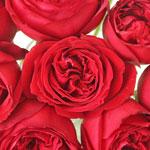 Crimson Tide Garden Roses up close