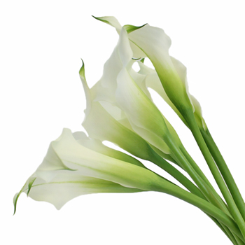 White Mini Calla Lily Flower Medium