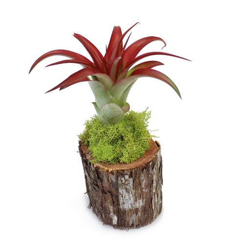 Bulk Eco Wedding Tillandsia Wood Arrangements