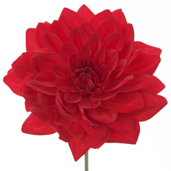 Dahlia Flower Bright Red