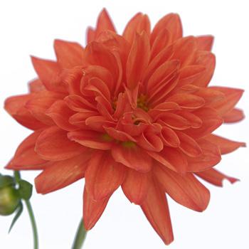 Dahlia Flower Coral Orange