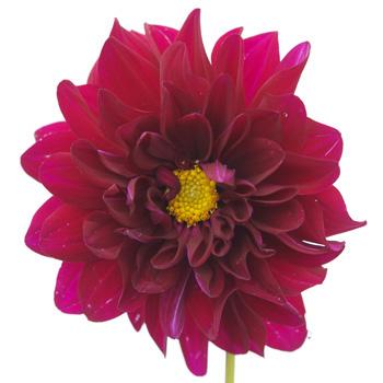 Dahlia Flower Deep Fuchsia