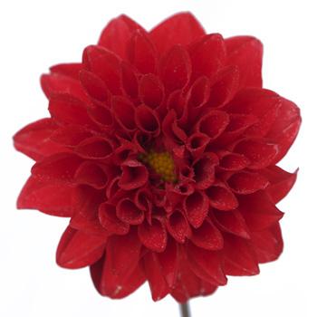 Dahlia Flower Deep Red