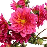 Dahlia Flower Hot Pink