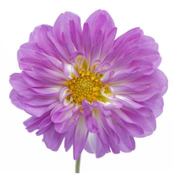 Dahlia Flower Lavender Folies