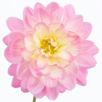 Dahlia Flower Light Pink Snow Petals