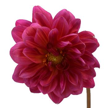 Light Pink Dahlia Bouquet