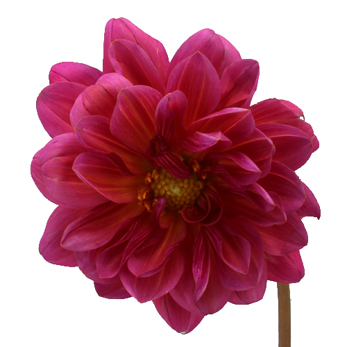 Hot Pink Dahlia Flowers
