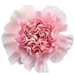 Damina Light Pink Carnation Flower Bloom