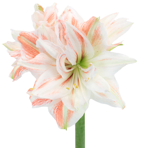 Vintage Touch Amaryllis Flower