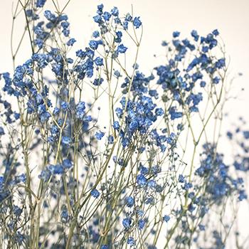 Sunny Harbor Blue Dried Gypsophila