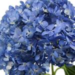 Dark Blue Hydrangea Stem View Close up