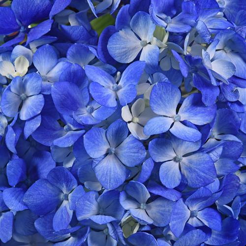 Dark Blue Hydrangea Wholesale Flower Up close