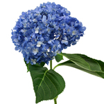Dark Blue Hydrangea Stem View