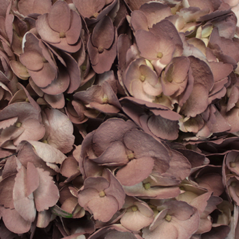 Dark Chocolate Airbrushed Hydrangeas Up Close