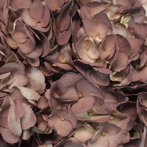 Dark Chocolate Airbrushed Hydrangeas Up Close