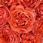 Dark Coral Garden Roses up close