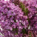 Lilac Spring Flower Wholesale