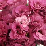 Dark Pink Lisianthus Wholesale Flower Upclose