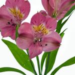 Dark Pink alstroemeria Wholesale Bloom Close up