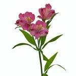 Dark Pink alstroemeria Wholesale Flower Stem