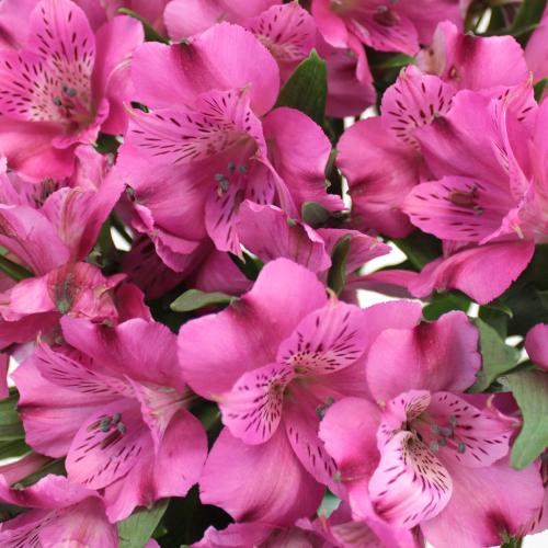 Dark Pink alstroemeria Wholesale Flower Upclose