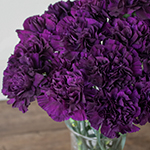 Blackish Purple Bulk Carnation flower