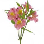 Dark Raspberry Pink Peruvian Lilies Alstroemeria Flowers Stem