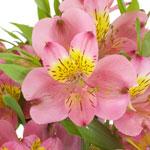 Dark Raspberry Pink Peruvian Lilies Alstroemeria Flowers Up Close