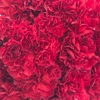 Darling Red Wholesale Carnations Up close