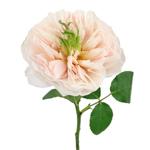 David Austin Charity Garden Rose Stem