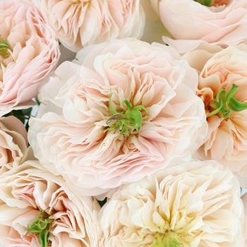 David Austin Charity Garden Roses up close