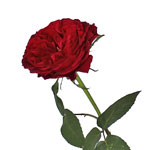 David Austin Cherry Peony Rose Side Stem View