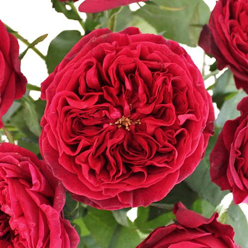 David Austin Cherry Peony Roses up close