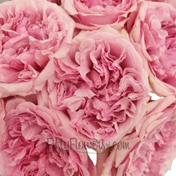 David Austin Light Pink Garden Roses up close