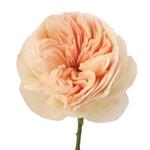 David Austin Peach Garden Rose Stem