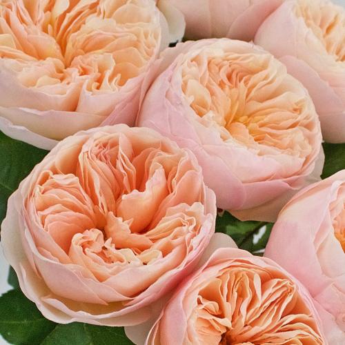 David Austin Peach Garden Roses up close