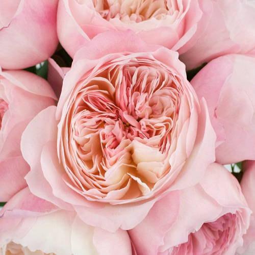 David Austin Pink Cloud Garden Roses up close