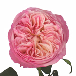 David Austin Pink Cloud Garden Rose Stem