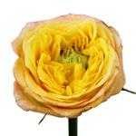 Daybreak Green Eyed Garden Rose Stem