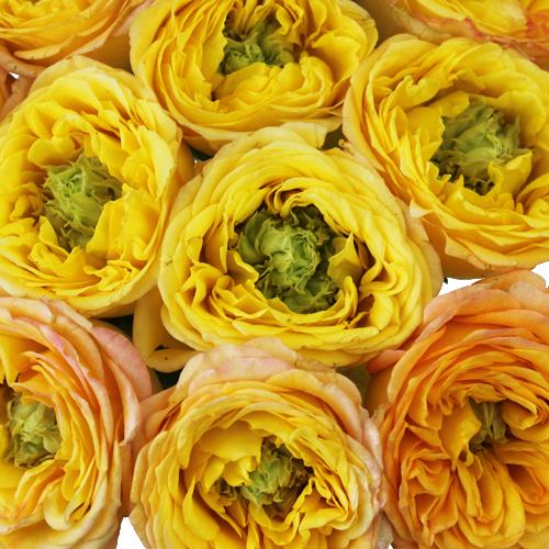 Daybreak Green Eyed Garden Roses up close