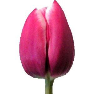 Debutante Hot Pink Tulip Wholesale Flower Up close
