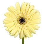 Gerbera Daisy Decafe Pale Yellow Wholesale Flower Up close