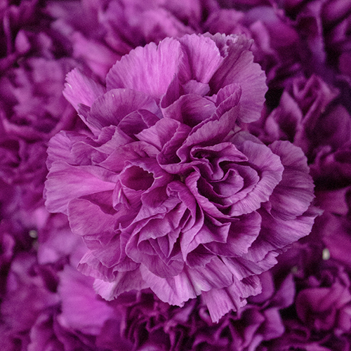 Deep Purple Wholesale Carnations Up close