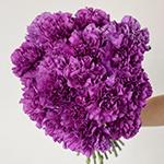 Deep Purple Carnation Bunch in a hand