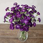 Deep Purple Mini Carnation Flowers In a vase