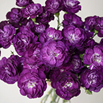 Deep Purple Mini Wholesale Carnations Up close